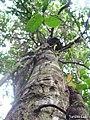 Annona salzmannii, araticum - Flickr - Tarciso Leão (9).jpg