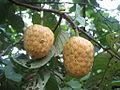 Annona senegalensis (4337693176).jpg