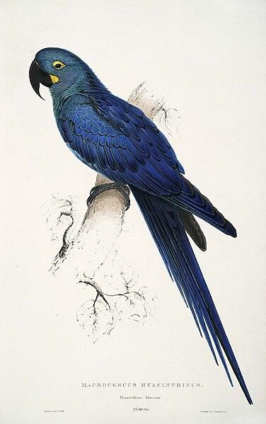 Plik:Anodorhynchus leari by Edward Lear.jpg