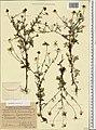 Anthemis cotula herbarium (01).jpg
