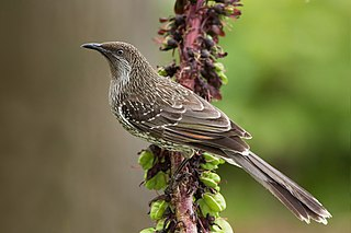 Little wattlebird species of bird
