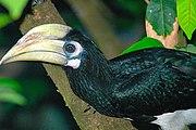 Oriental Pied-hornbillfairly common resident