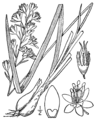 Anticlea elegans BB-1913.png