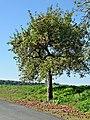 Apfelbaum Rauischholzhausen.jpg