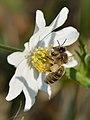 Apis mellifera - Anemone nemorosa - Keila1.jpg