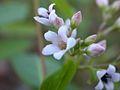 Apocynum androsaemifolium (3293003072).jpg
