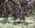 Apple cultivation in Nepal.jpg