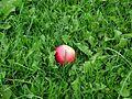 Apple in green grass.jpg