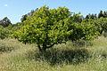 Apple orchard near Sebastopol, California.jpg