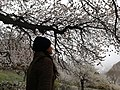 Apricot Tree - Hunza Valley.jpg