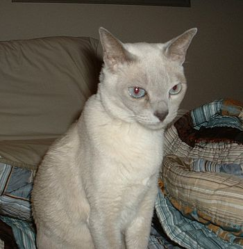 English: Platinum Mink Tonkinese. Photograph t...