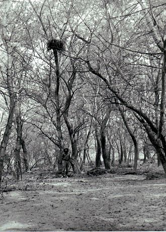 Alazani Floodplain Forests Natural Monument - Tugai-type forest in flood-land of Alazani River, SE Georgia. Eastern imperial eagle's (Aquila heliaca) nest.