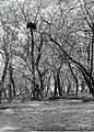 Aquila heliaca nest.jpg