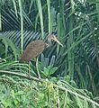 Aramus guarauna - Flickr - Dick Culbert.jpg