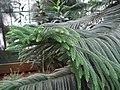 Araucaria Columnaris.Serres d'Auteuil 003.jpg