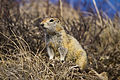 Arctic Ground Squirrel (7956346894).jpg