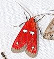Arctiid Moth (Hyperthaema hoffmannsi) (39635084114).jpg