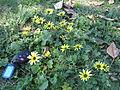 Arctotheca calendula plant3 (11768289226).jpg
