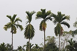 Areca nut trees.jpg
