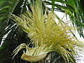 Arecanut tree flowers.jpg