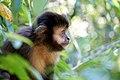 Argentina-01438 - Capuchin Monkey (48995019557).jpg