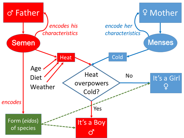 Aristotle's model of inheritance. The heat/cold part is largely symmetrical, though influenced on the father's side by other factors; but the form part is not. Aristotle's model of Inheritance.png