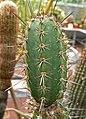 Armatocereus cartwrightianus 1.jpg