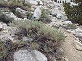 Artemisia rothrockii (7832386950).jpg