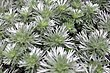 Artemisia schmidtiana Silver Mound 0zz.jpg