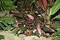 Arum Family - Araceae (3073312288) (3).jpg