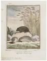Arvicola agrestis - 1700-1880 - Print - Iconographia Zoologica - Special Collections University of Amsterdam - UBA01 IZ20500143.tif