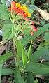 Asclepias curassavica 02.JPG