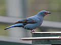 Asian Fairy-bluebird female RWD3.jpg