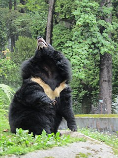 Asian black bear in Padmaja Naidu Himalayan Zoological Park.jpg