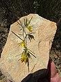 Aspalathus linearis Flipphi 1.jpg