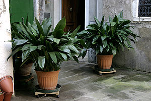 Keep the Aspidistra Flying - Image: Aspidistra elatior 01