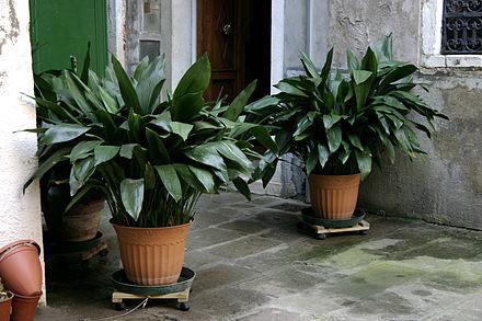 Аспидистра. Тенелюбивое декоративное растение