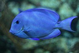 "Atlantic blue tang surgeonfish (""Acanthurus coeruleus"") -13092009a"