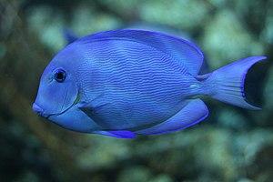 "Atlantic blue tang surgeonfish (""Acanthurus coeruleus"") -13092009a.jpg"