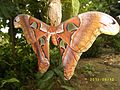 Atlas Moth Wing Pattern.JPG
