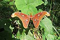 Attacus atlas - Atlas moth - at Peravoor (14).jpg