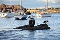 Australian Pelicans wollongong.jpg