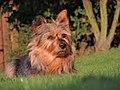 Australian Terrier Krümel in der Abendsonne.jpg