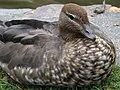 Australian wood duck 04.jpg