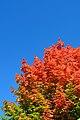 AutumnMapleLeaves.jpg