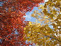 Autumn Colour of Leaves - Iowa, Midwestern United States - 20 Oct. 2011.jpg
