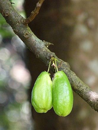 Oxalidaceae - Averrhoa bilimbi
