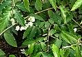 Bégonia undulata.JPG