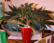 """""""Blueberry"""" marijuana cuttings waiting to be trimmed and re-cut."""