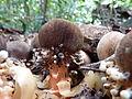 Balanophora fungosa.JPG
